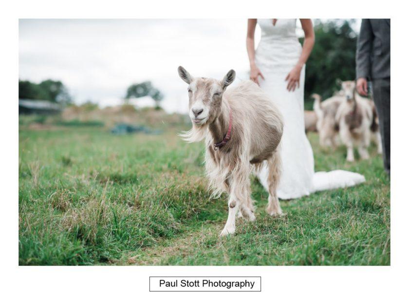 bride groom goats 001 - Crow Farm - Gemma and Phil